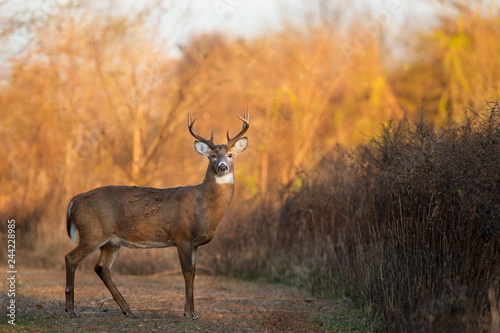 Fotografie, Obraz  Buck at Sunrise