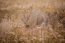 Deer In Prairie Grass