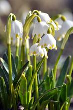 Spring Flowering Leucojum Vernum
