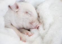 Cute Pig Sleeps On A Striped B...