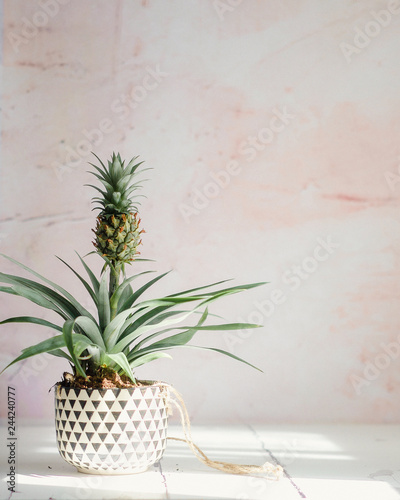 Pineapple plant in black and white pot on white table, pink background Fototapeta