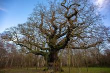 The Major Oak Is A Pedunculate...