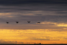 Cormorants Phalacrocorax Carbo...