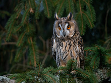 Long-eared Owl (Asio Otus) Sitting On The Tree. Beautiful Owl With Orange Eyes On The Tree In Forest. Long Eared Owl Portrait.