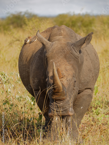 Fotografie, Obraz  Rhino Coming Closer