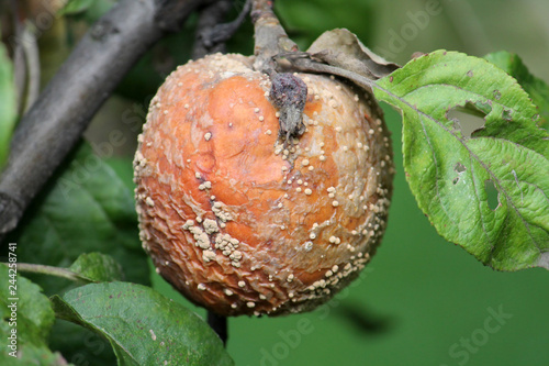 Brown fruit rot of apple caused by Monilia fungus