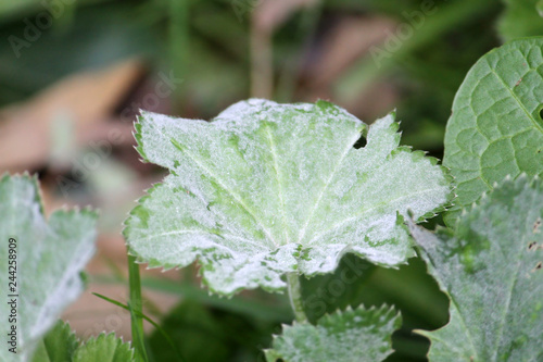 Fotografie, Obraz Powdery mildew Ecaused by Podosphaera aphanis on green leaf of Common Lady's Man