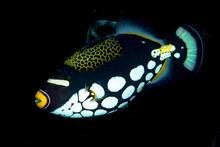 Clown Triggerfish Balistoides Conspicillum