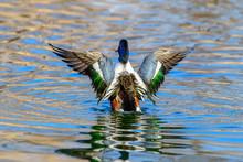 Northern Shoveler - (Spatula Clypeata) Duck Splashing In Water, Wings Spread