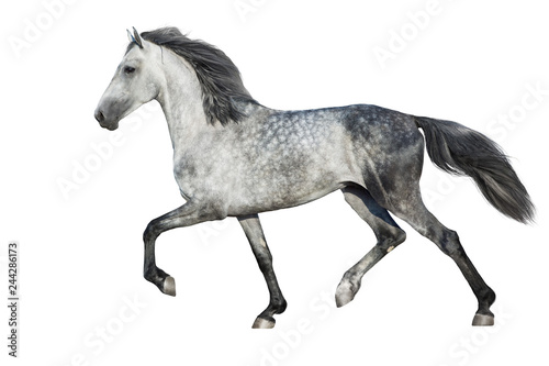 Fototapeta White  horse trot on white background