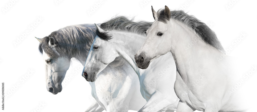 Fototapeta White  horses  portrait with long mane on white background. High key image