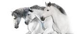 White  horses  portrait with long mane on white background. High key image - 244286365