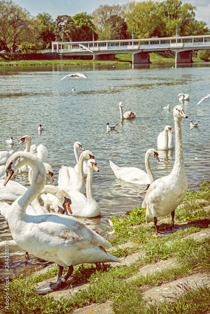 Swans on river side with bridge, Piestany