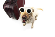 DOG GOING ON VACATIONS.  LABRADOR NEXT TO A VINTAGE SUITCASE WEARING SUNGLASSES. ISOLATED SHOT AGAINST WHITE BACKGROUND.
