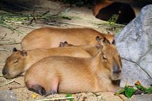 Capybaras Lying On Ground