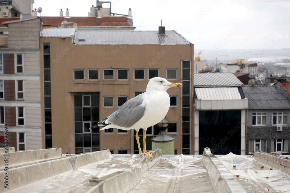Sea gull stands on the roof against the background of the urban landscape.