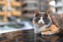 Cat On Car Roof