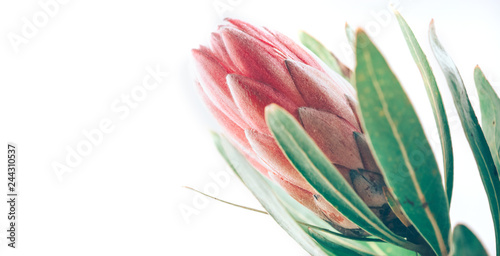 Photo  Protea bud closeup