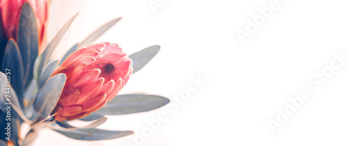 Protea buds closeup. Bunch of pink King Protea flowers over white. Valentine's Day bouquet. Widescreen background