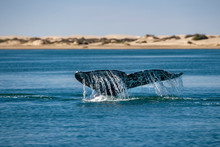 Grey Whale Tail Going Down In Ocean