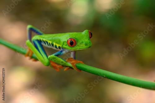 Foto op Plexiglas Kikker Red-eyed Tree Frog, Agalychnis callidryas, sitting on the green leave in tropical forest in Costa Rica.