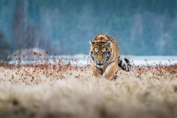 Siberian Tiger running. Beautiful, dynamic and powerful photo of this majestic animal. Set in environment typical for this amazing animal. Birches and meadows