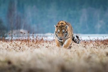 Siberian Tiger running. Bea...