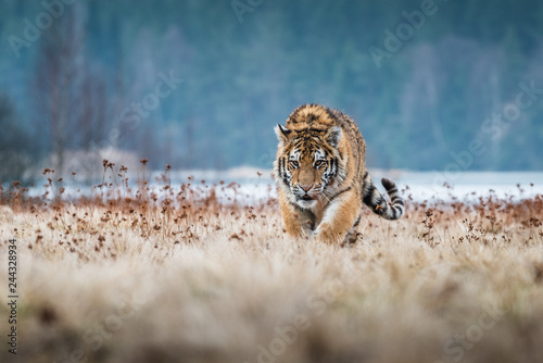 Siberian Tiger running Canvas Print