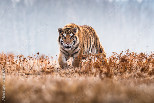 Photo sur Toile Tigre Siberian Tiger running. Beautiful, dynamic and powerful photo of this majestic animal. Set in environment typical for this amazing animal. Birches and meadows