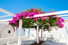 Beautiful Tree Of Bougainvillea With Pink Flowers On Santorini Island, Greece