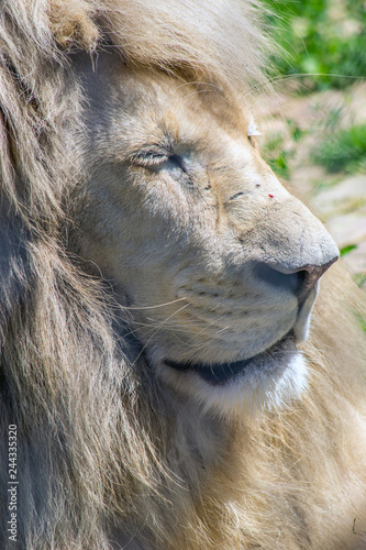 Acrylic Prints Scene from the zoo garden. The king is asleep.