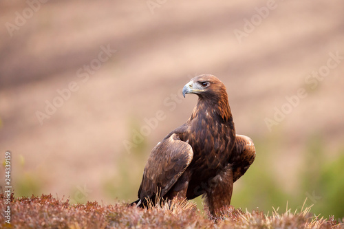 Photo Golden eagle, Aquila chrysaetos sitting on the grass