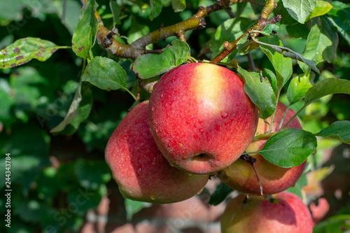 Fotomural Big braeburn apples riping on the apple tree