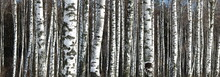 Panoramic Photo Of Beautiful Scene With Birches In Autumn Birch Forest In November Among Other Birches In Birch Grove
