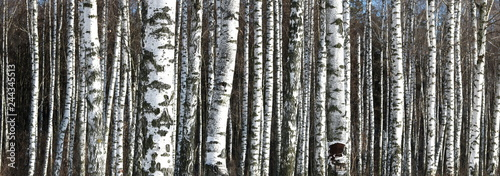Aluminium Prints Dark grey panoramic photo of beautiful scene with birches in autumn birch forest in november among other birches in birch grove