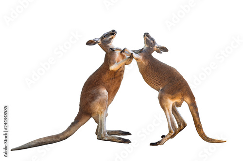 Fighting two red kangaroos on white background isolated