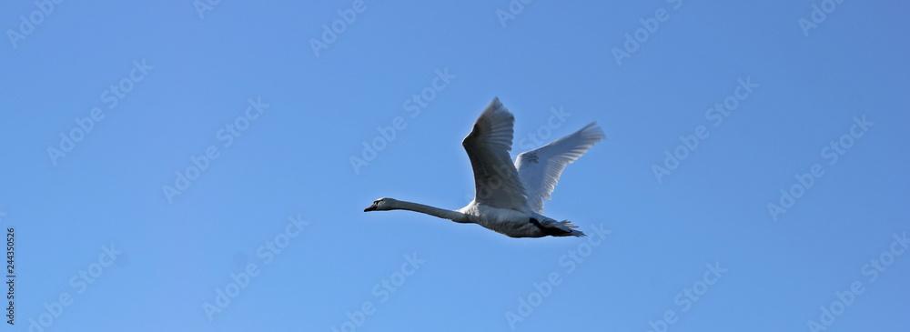 Fliegender Höckerschwan (Cygnus olor) seitlich vor blauem Himmel