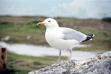 A Single Seagull Sitting On A ...