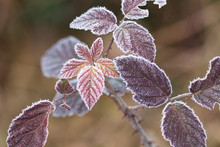Leaves Covered By Frost - Macr...