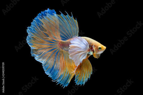 The moving moment beautiful of yellow siamese betta fish or half