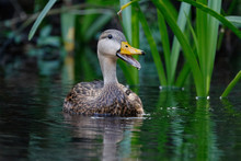 Male Mottled Duck Calling On A...
