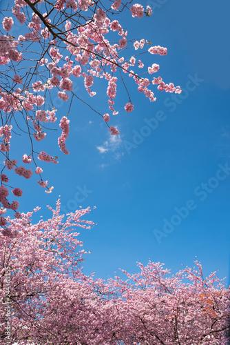 rosa Kirschbaumzweige und blauer Himmel mit Freifläche