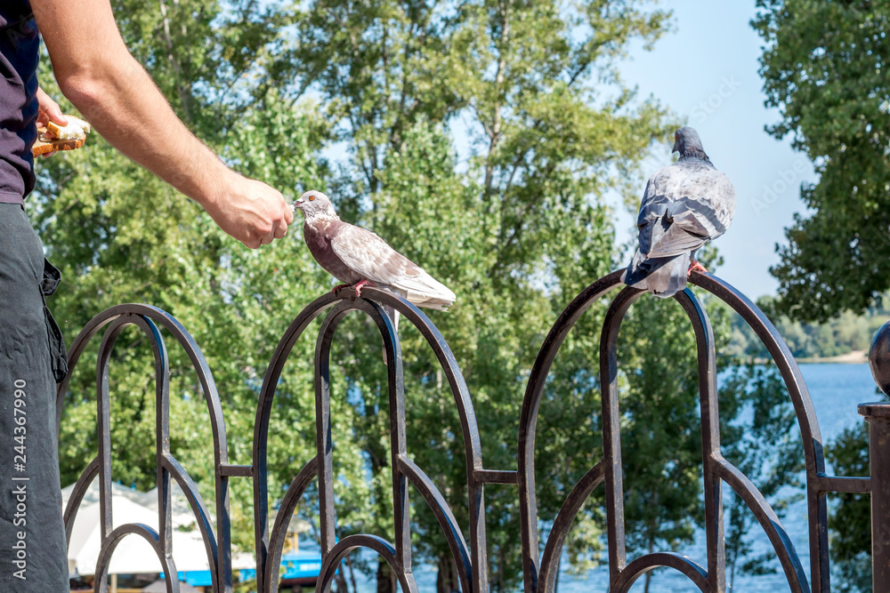 Man feeding city pigeon with arm in outdoor park