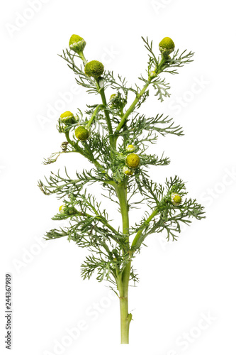 Photo  Beginning of flowering wild chamomile used for medical purposes