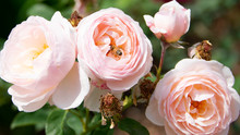 Pink Roses With Bee