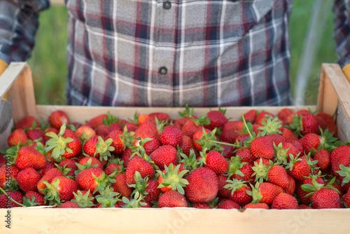 Farmer holding crate full of fresh organic strawberries. Focus on strawberry fruit.