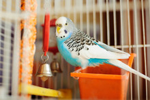 The Wavy Parrot Sitting In The Cage