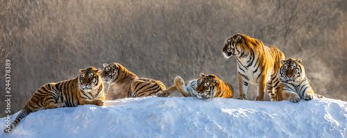 Foto auf AluDibond Tiger Several siberian tigers on a snowy hill against the background of winter trees. China. Harbin. Mudanjiang province. Hengdaohezi park. Siberian Tiger Park. Winter. Hard frost. (Panthera tgris altaica)