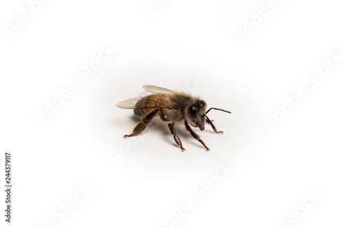 In de dag Bee Close up Photo of Isolated Honey Bee