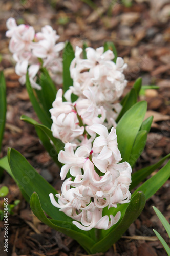 Fotografía  Hyacinthus orientalis or hyacinth pale pink flower with green vertical